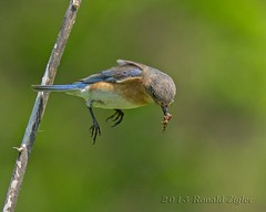 Female Bluebird IMG_3623 (ronzigler) Tags: bird flight bluebird thrush songbird