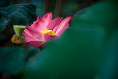 Lotus Wonder Collection01 (gallery of colour) Tags: flower nature floral waterlily artistic lotus fineart lotusflower goc chanleonghin galleryofcolour