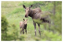 IMG_9065 (Michel Soucy (www.michelsoucy.com)) Tags: wild nature animal animals female mammal outdoors cow novascotia wildlife moose calf mammals cabottrail capebretonisland michelsoucy michelmikesoucy