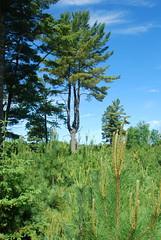 Three-stemmed mature white pine, Saint Louis County MN (esagor) Tags: pine slc regen whitepine workshops silviculture ecs 2013 sfec hulliganlake