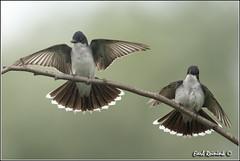 "Eastern Kingird (130710-2525) (Earl Reinink) Tags: ontario bird nature birds photography earl peninsula ""bird ""niagara photography"" ""nature ""earl flight"" reinink"""