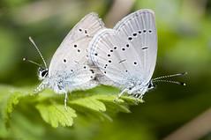 Cupido Minimus (accoppiamento (Claudio Ghizzo) Tags: macro butterfly nikon sigma 100mm tokina tele paesaggi merlo falcade 400mm farfalle gracchi mulaz falciade