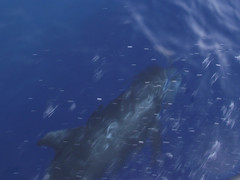 A pilot whale swimming beside a boat. (California Will) Tags: redsea jeddah saudiarabia ksa
