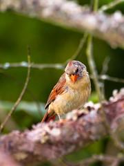 Watching You (TnOlyShooter) Tags: bird female cardinal
