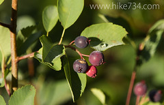 """Service Berries • <a style=""""font-size:0.8em;"""" href=""""http://www.flickr.com/photos/63501323@N07/9456510739/"""" target=""""_blank"""">View on Flickr</a>"""