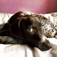 Baby linda                                 #perro #dog #linda #bracoaleman #cute #bonita (Vernica Guzmn Claver) Tags: dog baby cute square photo nice flickr foto picture perro linda cachorro squareformat bonita jugar bebe bella juego monada pequea imagen perra raza bracoaleman iphoneography instagramapp uploaded:by=instagram