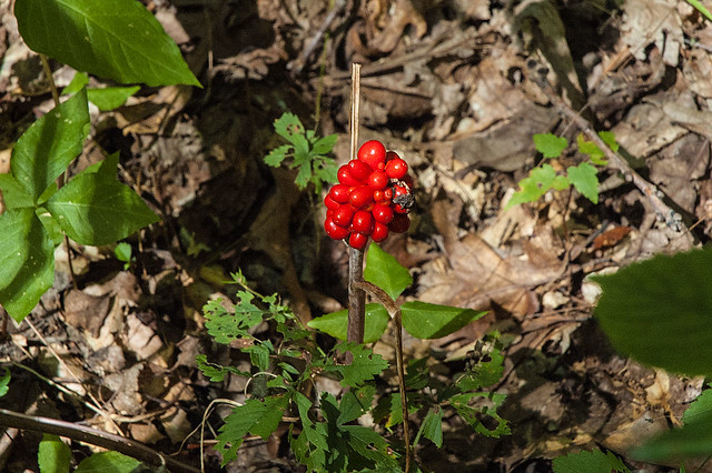 Hoosier National Forest - Nebo Ridge - Jack in the pulpit - August 2013