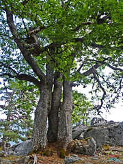 Entre Pikos (Historia de Covaleda) Tags: espaa naturaleza spain fiestas paisaje antigua pico sanlorenzo laguna pino soria senderismo baile antiguo lagunanegra pinar setas tradicion micologia urbion covaleda