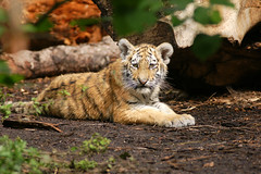 Panthera tigris altaica 2