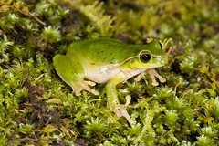 Pearson's Green Tree Frog (Litoria pearsoniana) (Gus McNab) Tags: litoria pearsoniata