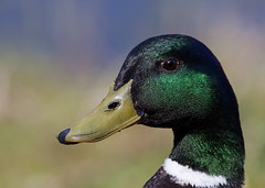 reverend duck (Dawn Porter) Tags: somerset