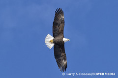 Bald Eagle Flying High over Antelope Island, Utah (Bower Media) Tags: alaska utah nikon eagle baldeagle bald wildlifephotography d3s fullwingspan larrydonoso bowermedia larryadonoso