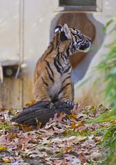 Smithsonian National Zoo Sumatran Tiger  (3) (smata2) Tags: zoo washingtondc smithsonian dc tiger bigcat sumatrantiger tigre nationscapital smithsoniannationalzoo itsazoooutthere zoosofnorthamerica flickrbigcats