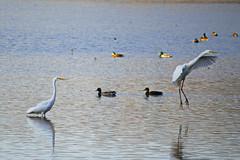 aigrettes (leroilezard52) Tags: nature vol der blanc canard oiseaux etang faune aigrettes outines leroilezard52
