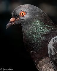 Pigeon portrait (Ignacio Ferre) Tags: bird pigeon dove paloma ave columbalivia pjaro rockdove rockpigeon columbidae palomabrava