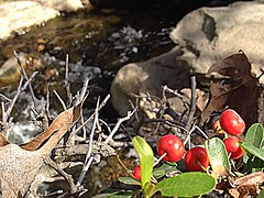 Red Berries, Brown Leaves (outlier.babe) Tags: stream berries parks holly twigs kennethhahnpark driedleaves christmasinlosangeles