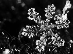 snowflake 04 bw-1 (advertisingwv) Tags: snowflake snow west macro lens virginia joshua tubes flake super josh southern wv marco extension reversed shackleford kenko advertisingwv joshshackleford