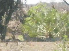 Kruger Park SA (Goncalo Castelao) Tags: tourism southafrica african capetown safari jungle lions elephants turismo krugerpark kruger viajar gon afrikan africadosul savana countrysouthafrica giraffs visitsouthafrica visitsafrica goncastelao