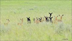 ..all ears.. (`* corneliq `*) Tags: nature southafrica special impala coth nikond300 lalume blackimpala coth5 corneliq