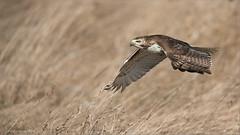 Red-tailed Hawk in Flight (Raymond J Barlow) Tags: red ontario canada hawk wildlife adventure raptor workshop redtailed allnaturallight raymondbarlowphototours