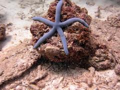 IMG_9067 (milewski) Tags: ocean water underwater starfish salt scuba diving scubadiving saltwater underwaterphotography echinoderms oceanphotography asteroidea