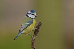 Blue Tit (stanley.ashbourne) Tags: blue bird tit oxfordshire standlake mygearandme mygearandmepremium mygearandmebronze mygearandmesilver mygearandmegold mygearandmeplatinum mygearandmediamond