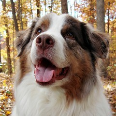 (shootC) Tags: dog shepherd australian aussie mmc