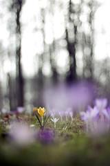Krokusse - Crocus - crocus (Juliane Myja) Tags: park flower spring flora bokeh pflanze wiese crocus lila gelb blume krokus frhling gegenlicht violett krokusse oschatz julianemyja