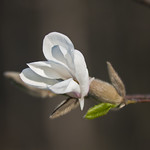 "Magnolia flower • <a style=""font-size:0.8em;"" href=""http://www.flickr.com/photos/28211982@N07/13520951223/"" target=""_blank"">View on Flickr</a>"