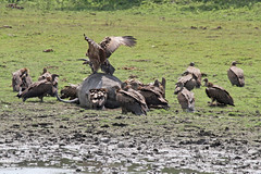 Vultures (ericdavid44) Tags: northeastindia