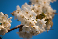 White blossom (Geri Grudeva) Tags: camera flowers blue trees red brown white mountain holiday black flower macro green castle art nature water fountain beautiful leaves yello