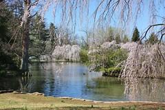 Pond in Lexington Cemetery (Blue-Eyed Kentucky) Tags: cemeteries spring pond bluegrass kentucky lexingtonkentucky lexingtoncemetery weepingcherrytrees cemeteryimages blueeyedkentucky