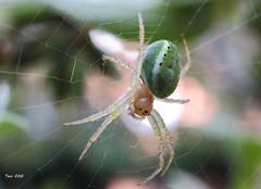 Araña verde (araniella cucurbitina)