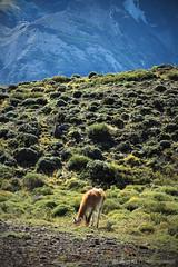 Lama guanicoe (Guanaco) (ignacio1701) Tags: patagonia cold love animal animals del puerto punta arenas fin mundo frio natales austral