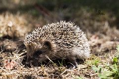 Piccolo Riccio - Little Hedgehog (petrus.13) Tags: canon eos estate hedgehog quark ef50mmf18ii insetti 6d aculei letargo mammiferi erinaceinae superquark petrus13