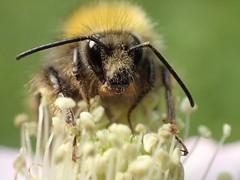Hi  honey...EXPLORE #04.07.2015 (libra1054) Tags: insectos insects bumblebees insekten insectes insetti hummeln bourdons abejorros bombi abelhâos