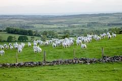 Turning tail! (allybeag) Tags: light sunset evening sheep dusk flock runningaway tallentirehill turningtail