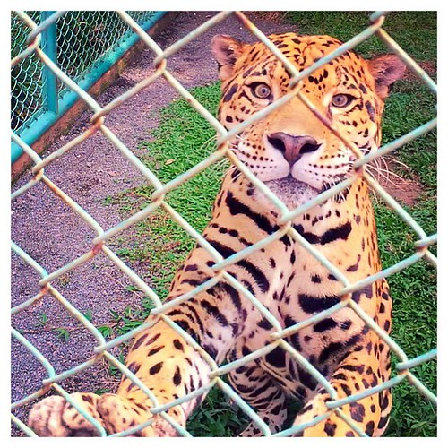 Encuentro cercano con el Jaguar! #guatemala #cat #gato #felino #aviaryphoto #guategram #retoinstagrampl #irtra #xetulul