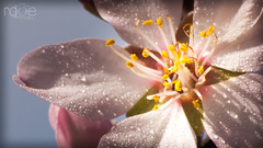 FLOR DE ALMENDRO (ROGE gonzalez ALIAGA) Tags: flor primavera macro primer plano brillo luces gotas nikon 70300mm