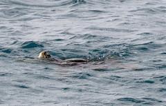 Green Sea Turtle (Saburosan) Tags: cheloniamydas kauai hoaibay