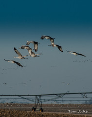 Sandhill Cranes (Tom Jodis) Tags: flight sandhillcranes nebraska migration