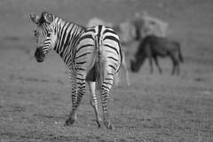 Arrête de photographier mon cul (rondoudou87) Tags: pentax k1 monochrome blanc black blackwhite nature natur noiretblanc noir wildlife wild white parc zoo reynou smcpda300mmf40edifsdm zèbre zebra
