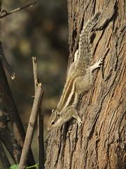 Five-striped Palm Squirrel (Funambulus pennantii) (Gavin Edmondstone) Tags: funambuluspennantii fivestripedpalmsquirrel squirrel okhlabirdsanctuary delhi india