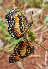 Um momento 😊 (Paulo Mattes) Tags: borboletas borboleta macro brasil nature natureza insetos instagram nuturelovers
