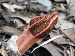 Lysurus mokusin (Jackson Nugent) Tags: fungus fungi basidiomycota stinkhorn mushroom