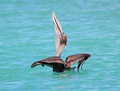 Canon2017.03.17 2143 (seahorse19911) Tags: birds brittanyanddadsvisit canon20170317 florida floridakeys pelicans