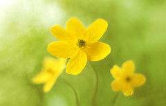 Anemone ranunculoides 😊🍃💛 (ElenAndreeva) Tags: flowers forest color macro blue sun light summer bokeh beautiful cute colors green 500px canon garden soft colorful sweet focus amazing stellaria nature flower spring anemone top beauty best lovely dream naturephoto floral forrest