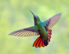 Black Throated Mango Hummingbird, Yerette Hummingbird Sanctuary, San Jose de Oruña-Maracas, Trinidad and Tobago. (pedro lastra) Tags: winner alt
