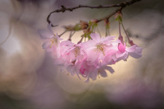 Dreaming of You (hploeckl) Tags: diaplan bokeh daydreaming romantic pentaconav2880 soft tenderness spring nikon d750