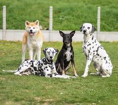 my dogs 💖 (stphanielegay) Tags: pongo yume fiasko mustang nikond7200 nikon 50mmf18d mydogs dogs photography bestfriend dogphotography